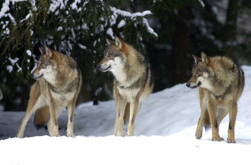 Wolfstrio