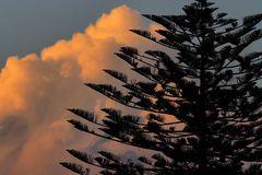 Wolke im Fokus mit Araucaria