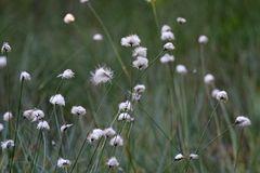 Wollgräser im Toteiskessel