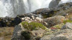 Wollgras am Wasserfall
