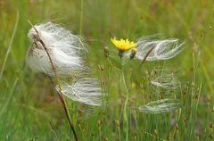 Wollgras im Wind