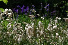 Wollgras und Schwertlilien
