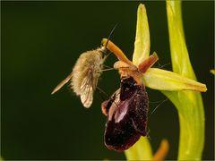 ~Wolli auf Orchideenhybride~