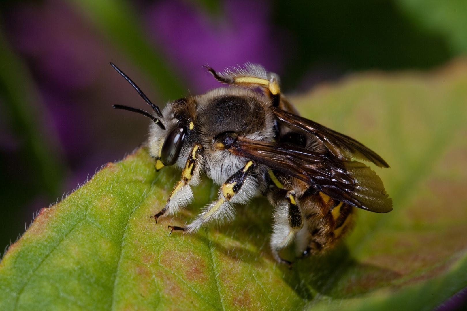 Wollige Harzbiene (Anthidium manicatum)