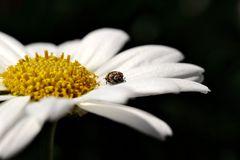 Wollkrautblütenkäfer (Anthrenus verbasci)...