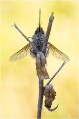 Wollschweber - Bobylius posticus