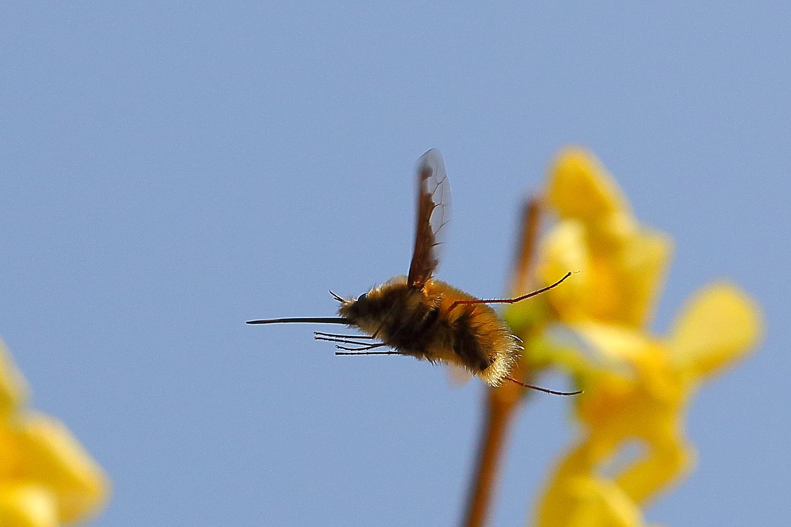 Wollschweber (Bombyliidae)