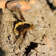 Wollschweber (Bombyliidae) (III)