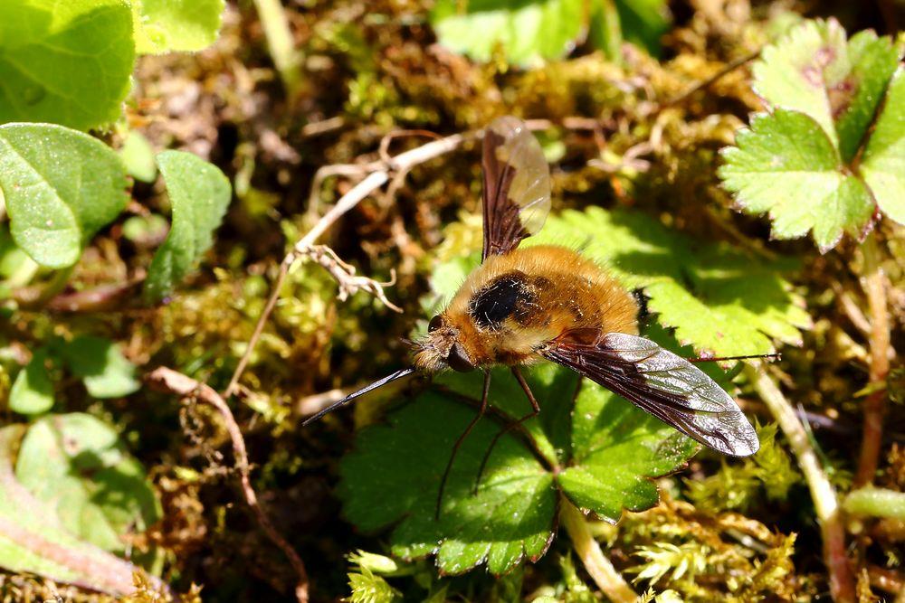 Wollschweber (Bombyliidae) (IV)