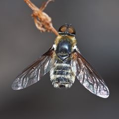 Wollschweber (Bombyliidae) (Villa hottentota) *