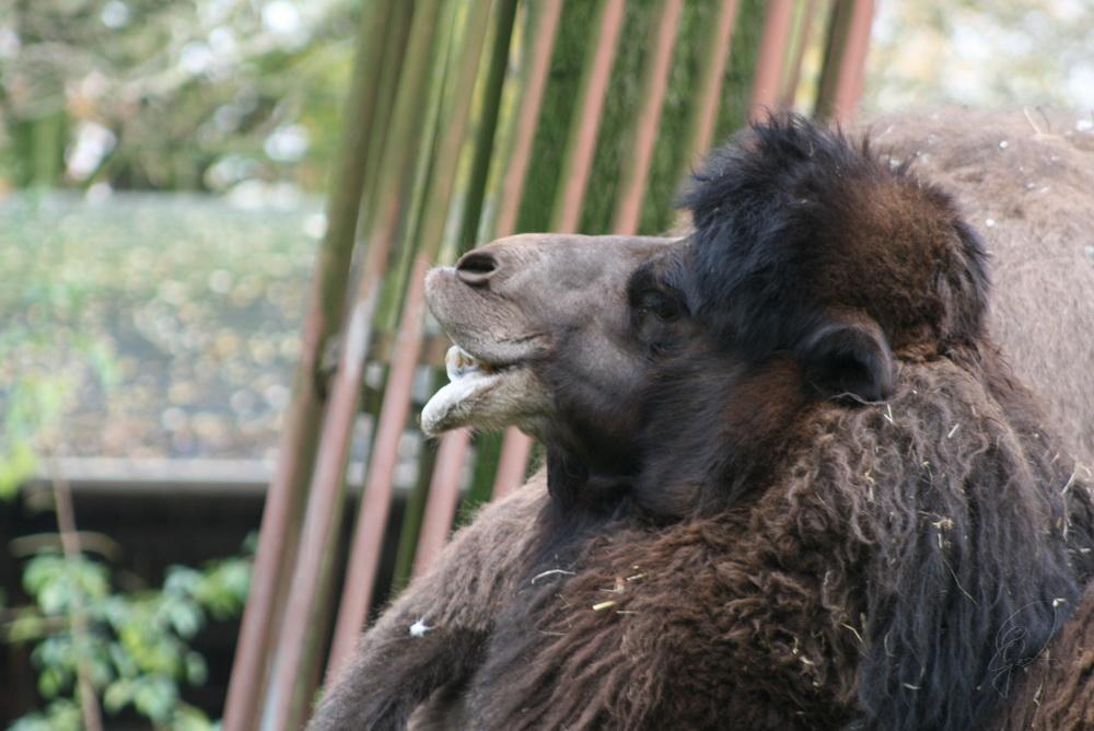 - wollte eigentlich ein Gorilla werden.... -