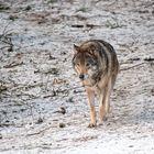 wolves II