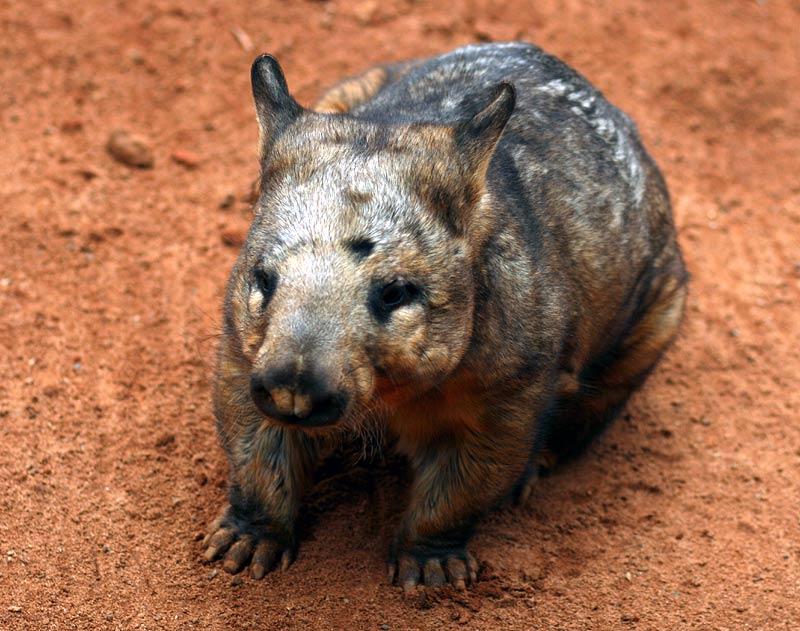 """""""Wombat"""""""