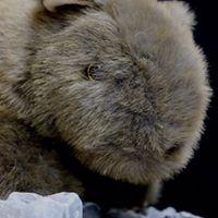 Wombat.1963