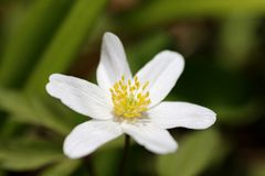 Wood anemone (windflower)
