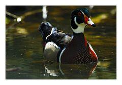Wood Duck or Carolina Duck -  Brautente
