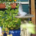 Wood Pidgeon Cooling off