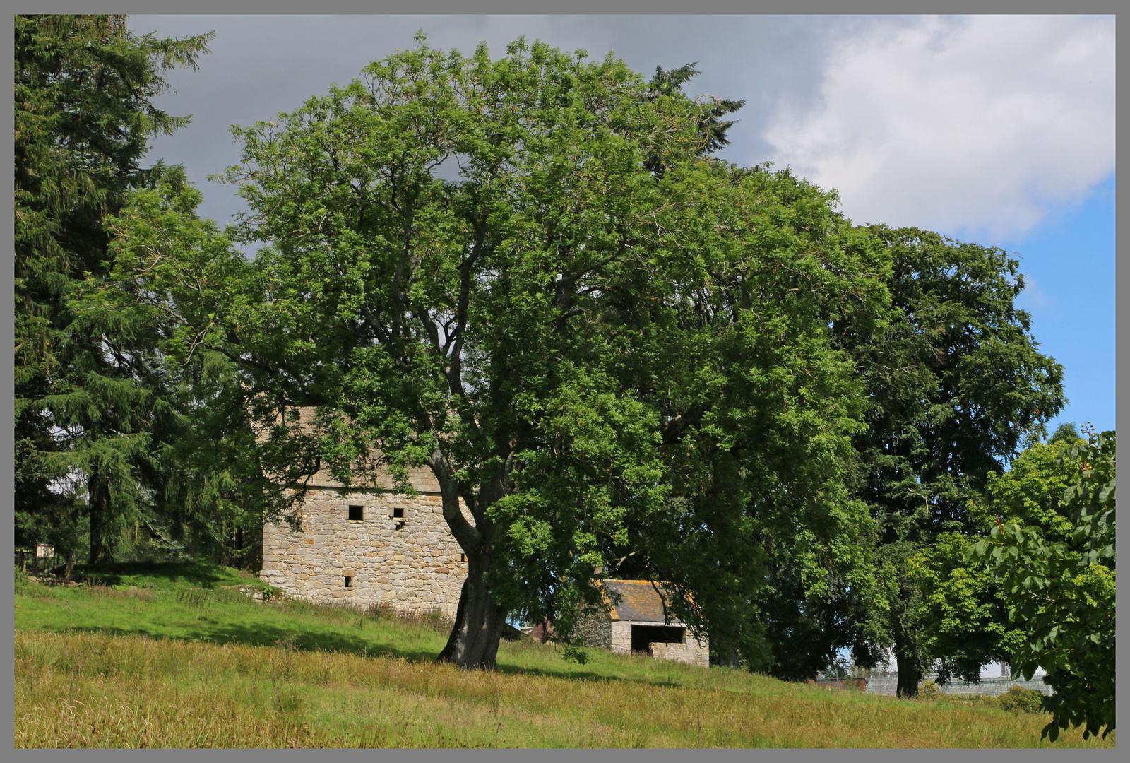 woodhouse bastle and ash tree 2 Northumberland