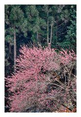 Woodlands blooming plu-4