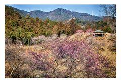 Woodlands blooming plum-1