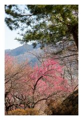 Woodlands blooming plum-2