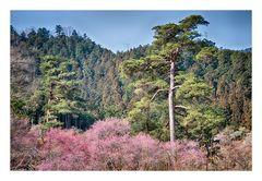 Woodlands blooming plum-3