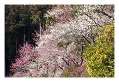 Woodlands blooming plum-5