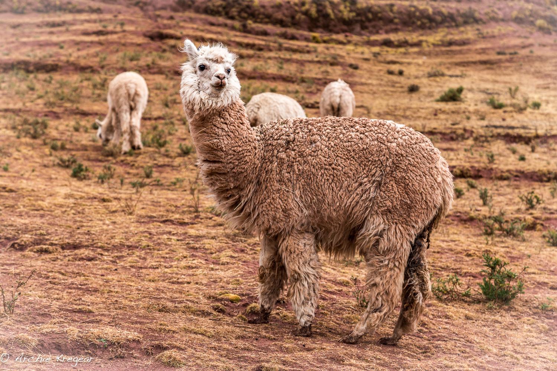 Wooly alpaca