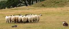 Working Sheepdogs I