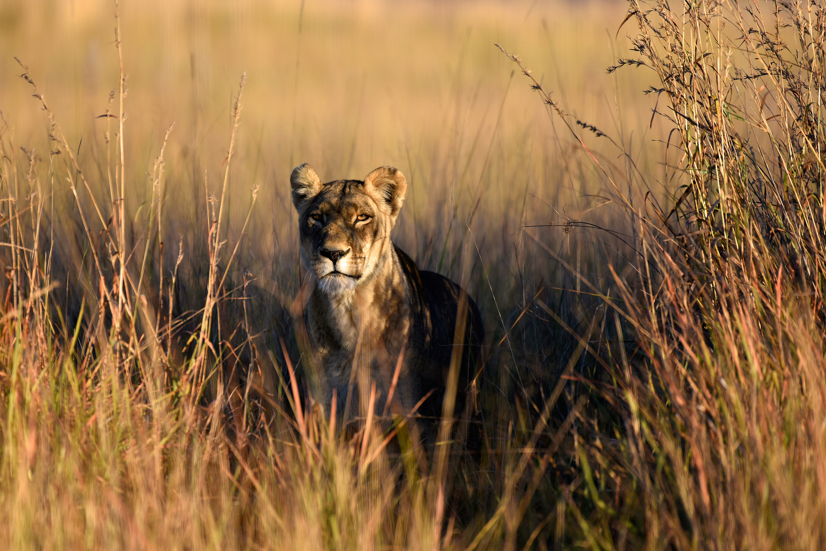 Worries of a lioness