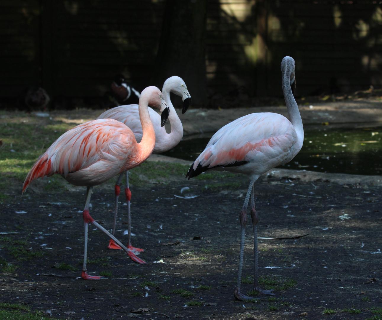 Worüber sich diese drei Flamingos wohl unterhalten?