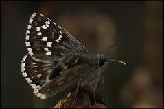 Würfelfalter (Pyrgus sp)