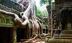 würgefeige trifft auf tempel, angkor, cambodia 2010