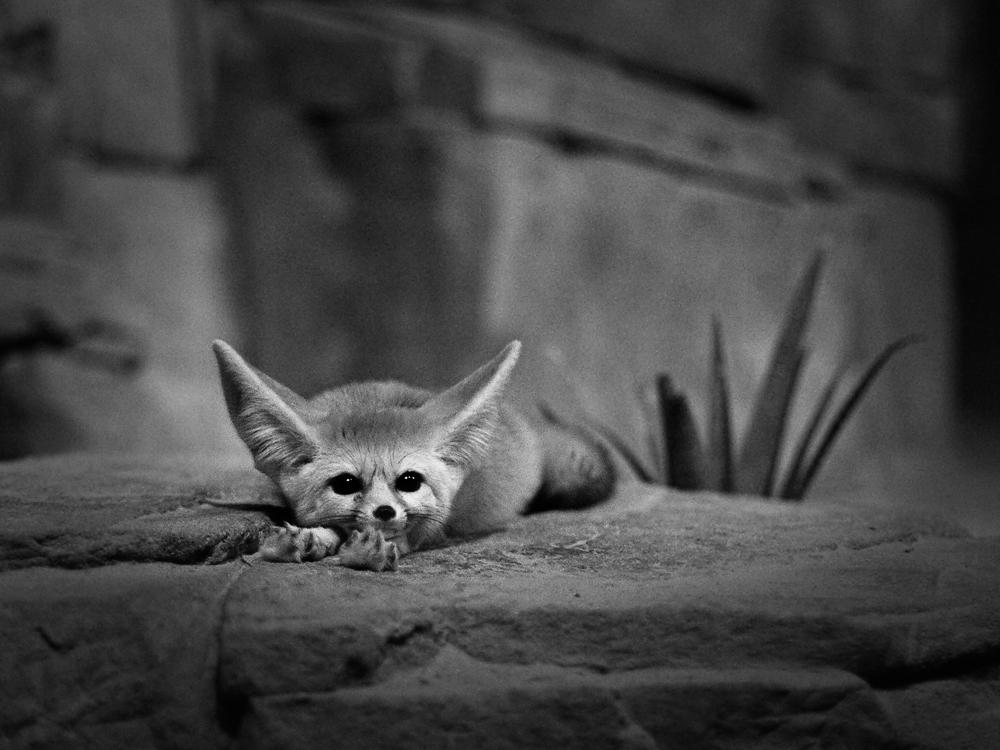 Wüstenfuchs (Fennek , Vulpes zerda)