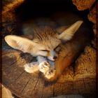 Wüstenfüchschen im Baumstamm, lag und schlief ...