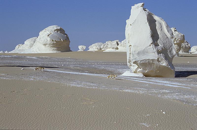 Wüstenfüchse - Weisse Wüste - Ägypten