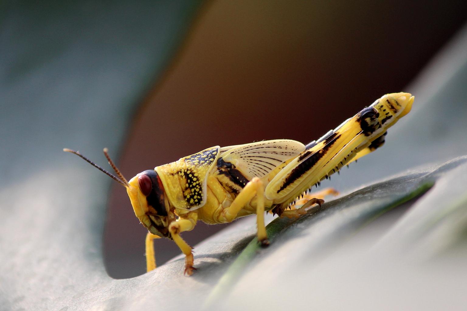 Wüstenheuschrecke (Schistocerca gregaria) #2