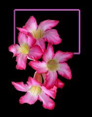 Wüstenrose # Rosa del desierto