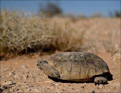 Wüstenschildkröte