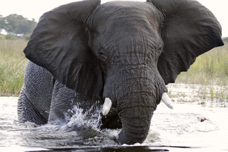 Wütender und trompetenter Elefant