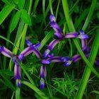 Wunderbare Gras-Schwertlilien,die sich im hohen Gras verstecken wollen...