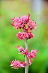 Wunderbaumblüte