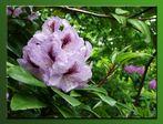 Wunderschöne Azaleen-Blüten