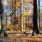 Wunderschöne Herbststimmung im Buchenwald - Fläming