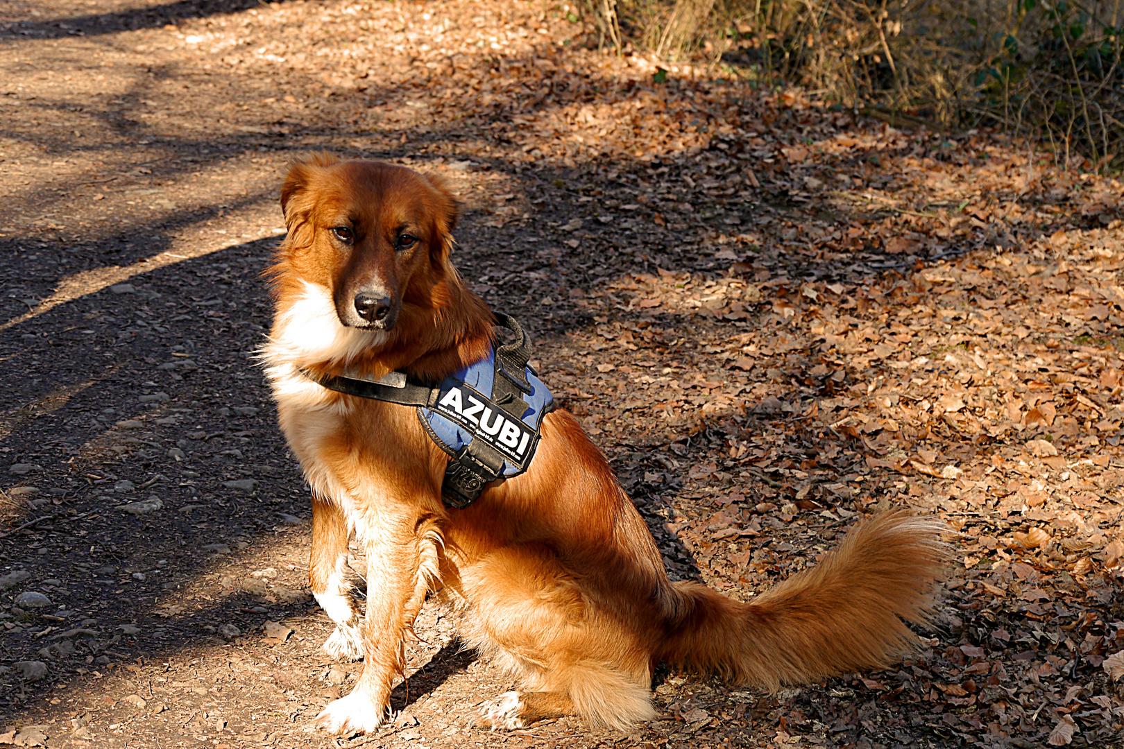 Wunderschöner Hund in der Ausbildung für die Polizei.
