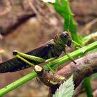 Wunderschönes Insekt in Grün!
