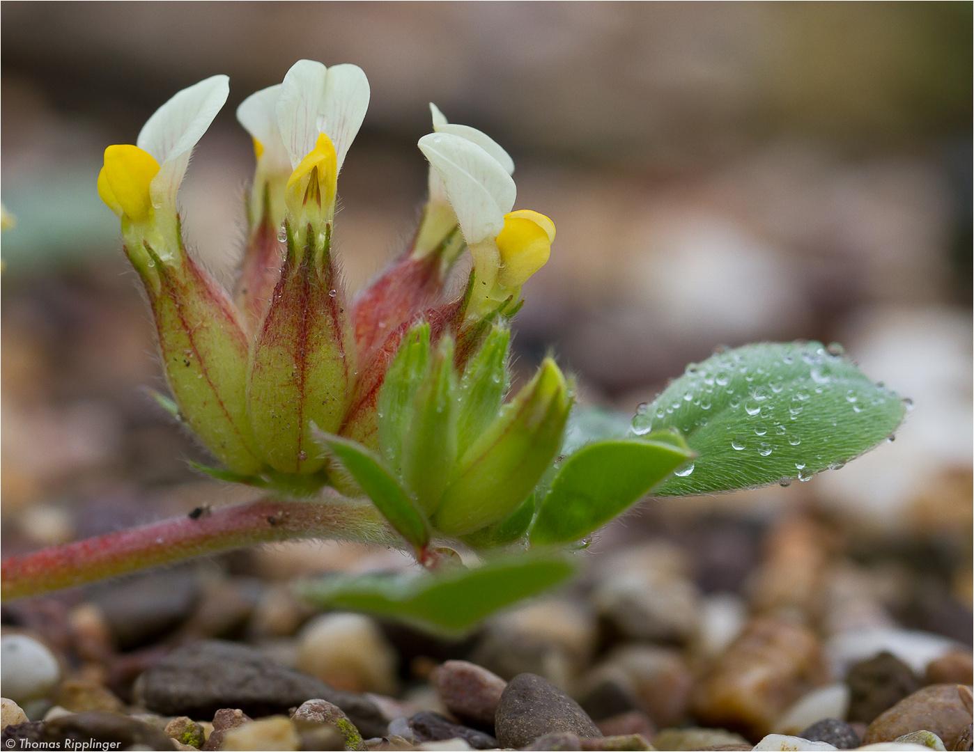 Wundklee (Anthyllis tetraphylla)..