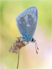 Wundklee-Bläuling - Polyommatus dorylas