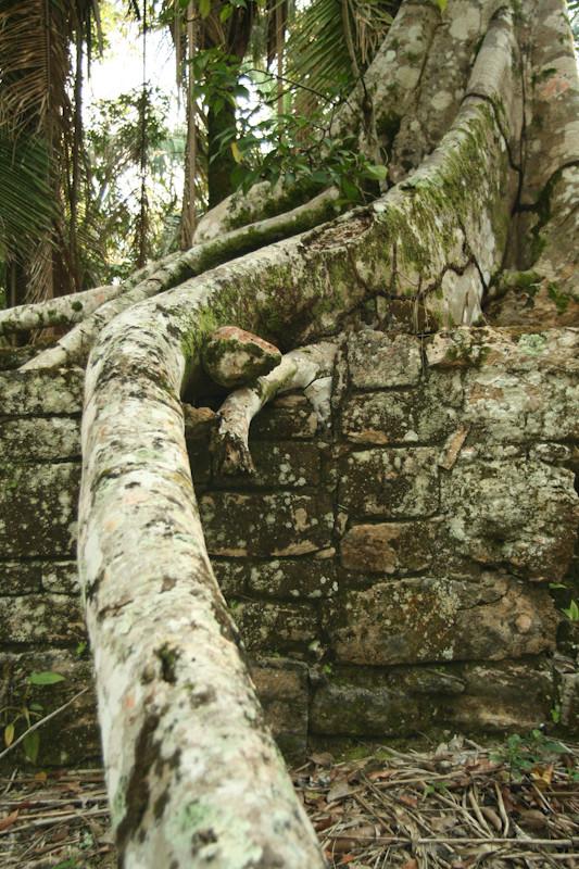 Wurzel im mexikanischem Dschungel