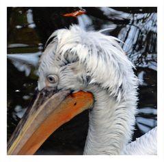 Wuschelkopf Pelikan